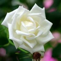 アンジェのバラ