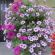 花盛りの サフィニア