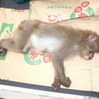 6月12日有害鳥獣捕獲「猿」