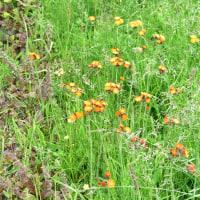 コウリンタンポポの花