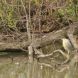 新潟の野鳥 ササゴイ