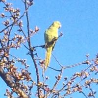 春はそこまで、桜と富士と、インコ!?