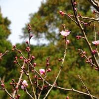 老梅が咲きました!