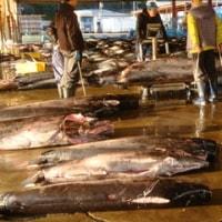 2016年紀伊半島一周の旅(5)南紀勝浦 朝の魚市場