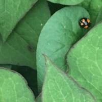 オサンポ walk - てんとう虫 a ladybug