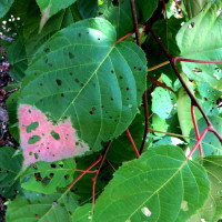 絡みつきタイプつる植物ミヤママタタビ