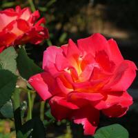 秋のバラ咲き乱れる北公園でマロニエは色づき始める