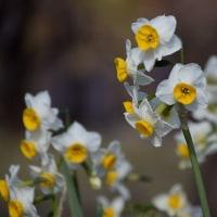 大阪城公園の蝋梅と水仙