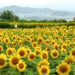 ひまわり畑~守山市なぎさ公園~