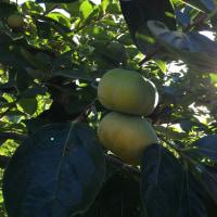 曼珠沙華 と 柿