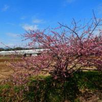 『町なかの花』 一本桜