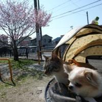 アズキさん kikiさん   桜は、まだですね。