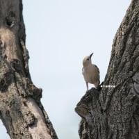 野鳥観察 コムクドリ