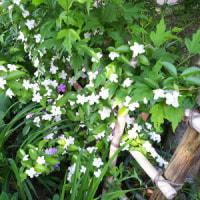 5/22 バンマツリが香る花壇