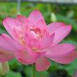 古代蓮の里で咲く花蓮「紅万々」 !!