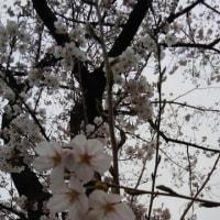 廻るもの 季節の花 桜