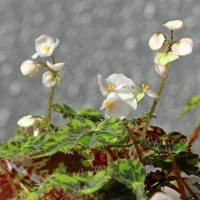 窓辺のベゴニア・クレオパトラ咲く
