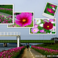 遠賀川のコスモスとランチ