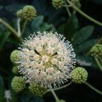 ヤツデの花の美しさ