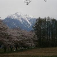 ご近所の「桜」