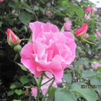 バラ 「スパニッシュ・ビューティー」