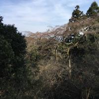 枝垂桜はまだだったぁ~