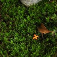 庭のキンモクセイ