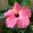 hibiscus 2017