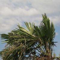 植物の漢字 棕櫚