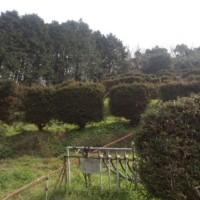 杉垣の刈り込みに。
