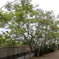 大阪市内のジャカランダ