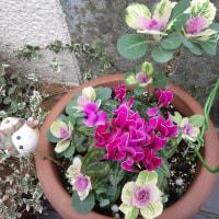 花を食べるヒヨドリ・・困ります