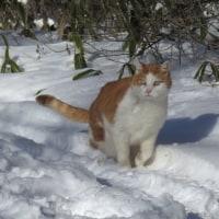 雪猫さっちゃん久々登場