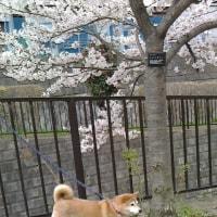 桜咲く さくら舞う