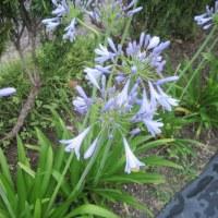 畑のアガパンサスが咲きました!