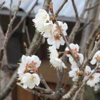 〈桜〉の開花がニュースになる季節