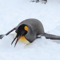 ペンギン散歩連続写真・旭山動物園2