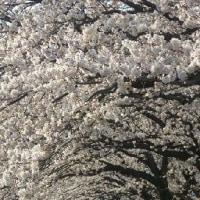 おでんサミットと平塚の桜