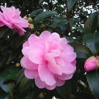 季節の花「山茶花(さざんか)」