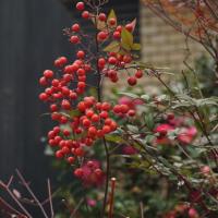 冬の植物園7(ヨシ)