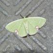 黄緑色の小さな蛾?と呟き