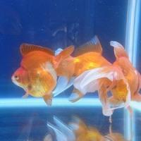 金魚、、、、、、