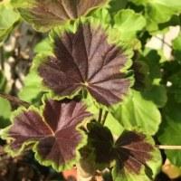 ゼラニューム、ペラルゴニウムの葉