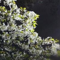 桜は一週間前が見頃だったかな?