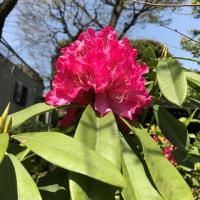 御衣黄のある神社で Gyoiko, cherry blossom in the shrine