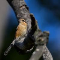 今日の野鳥・・・モズ ♀・・・しっかり見張って。。