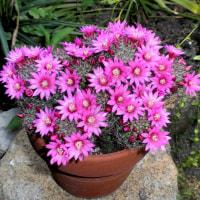 サボテンの花が満開