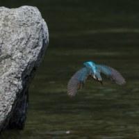 カワセミ雌 水浴び