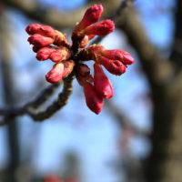桜はまだかいな!