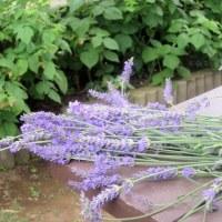 oneboke  今日の庭  ラベンダー と 同窓会ランチ